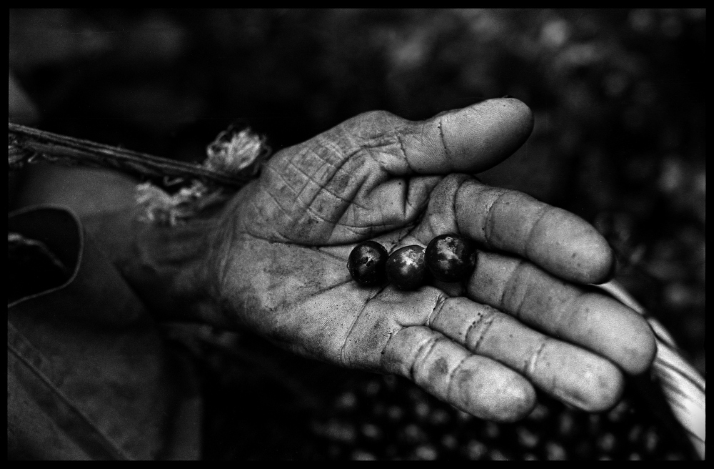 The weathered hand of Cruz Alvarado Cano. A worker on the Finca La Corona. Yasica Sur, Matagalpa, Nicaragua.