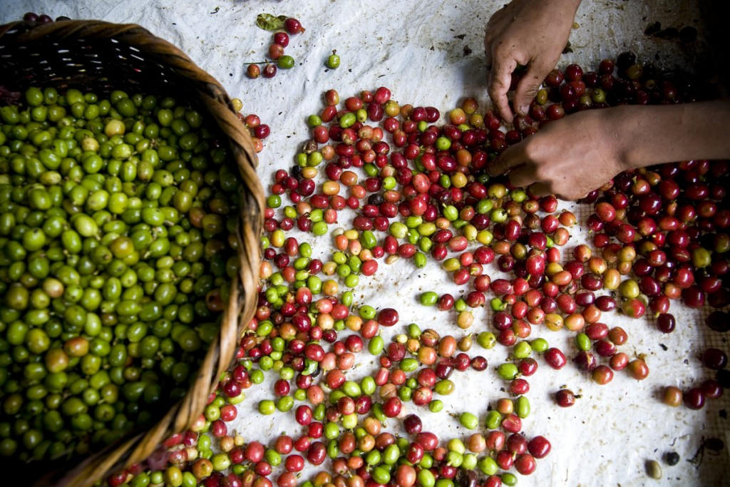Workers on Finca El Roble sort ripe(red) coffee cherries from green ones.