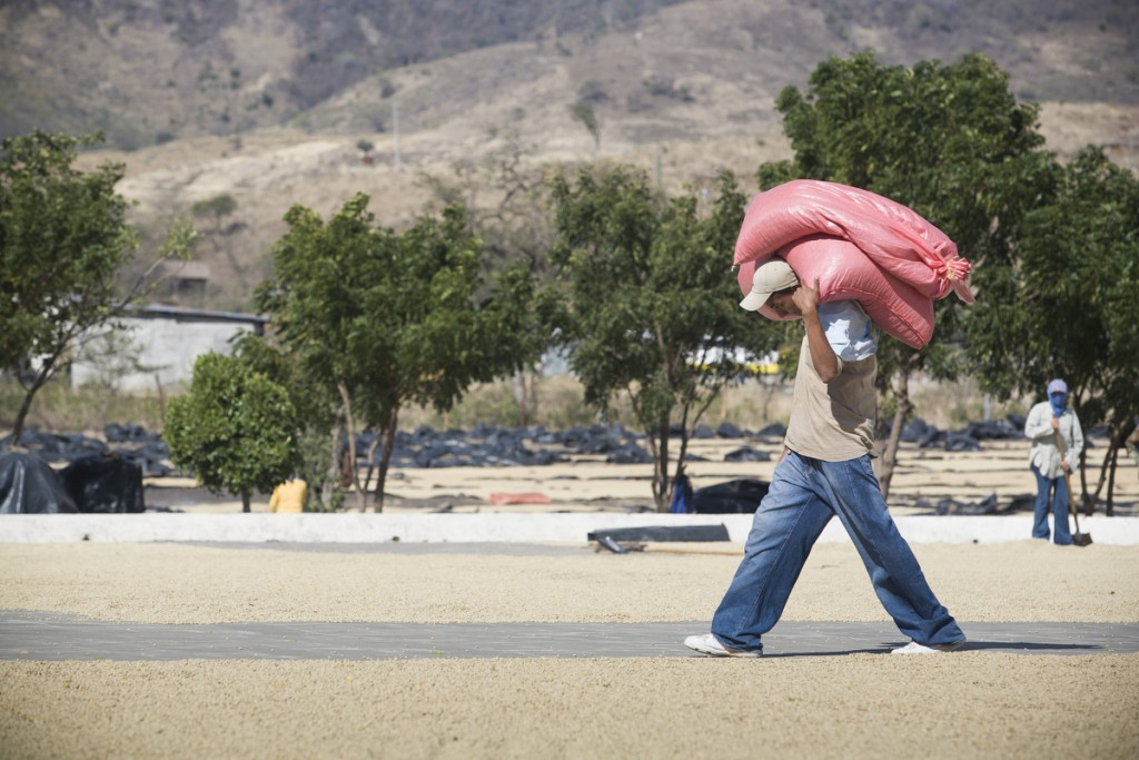 A worker at Solcafe drying mill carries bags weighing anywhere between 120-150 lbs. Coffee is brought by the coops to the mill in Matagalpa in order to be sun-dried and exported.