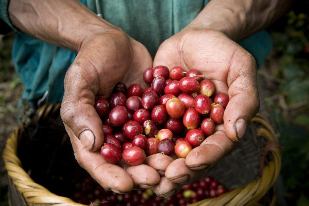 A worker cups a handful of ripe coffee cherries on Finca La Estrella, near Jinotega. Coffee cherries are ready to be picked when they have reached their red color.