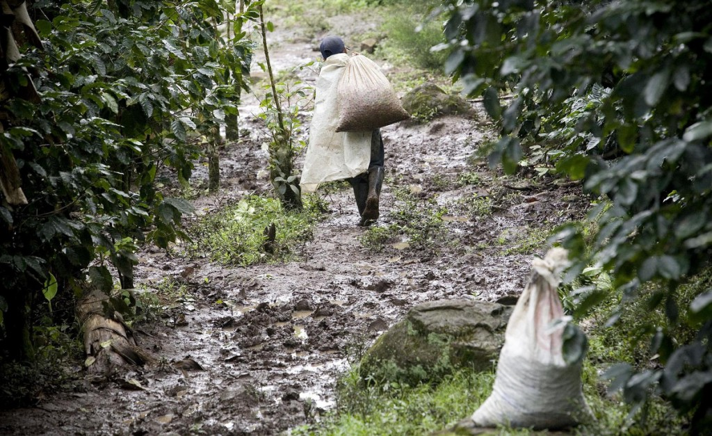 A worker on Finca El Roble carries bags of picked coffe from the field to a sorting area on the farm.