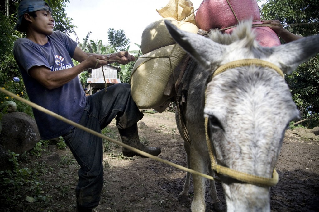David Pao Arauz, son of a coffee producer, ties bags of coffee beans onto a mule on Finca El Roble.