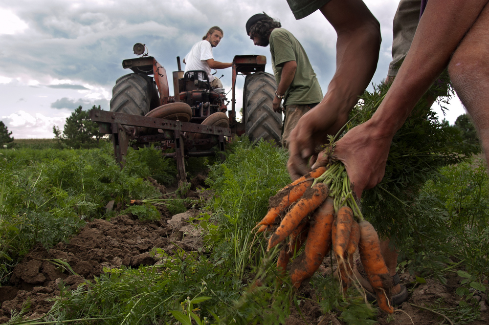 Workers collect carrots on Cadet Roussel Farm, a biodynamic farm in St Gregoire Quebec.