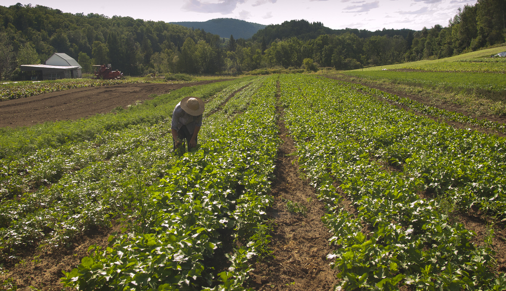 VDAFARM082 Alex, a worker on Vallon des Sources, an organic farm in Ripon Quebec, weeds rows, and rows of vegetables. Contrary to conventional farming, a lot of weeding is done by hand on an organic farm. Photo by vincenzo D'Alto