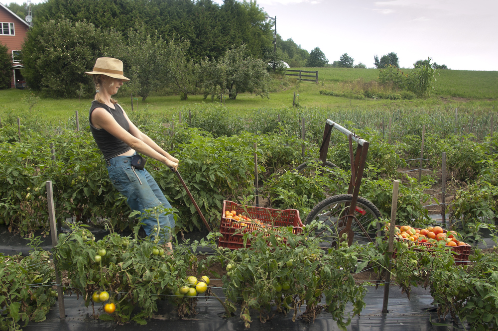 VDAFARM090 Juniper, a worker on Vallon des Sources, an organic farm in Ripon Quebec, harvests tomatoes using a device constructed and built on the farm. © Vincenzo D'Alto farm, ferme, fattoria, finca agriculture, agricultura, organic, biologique, organico, biologico, Land, tierra, terra, terre