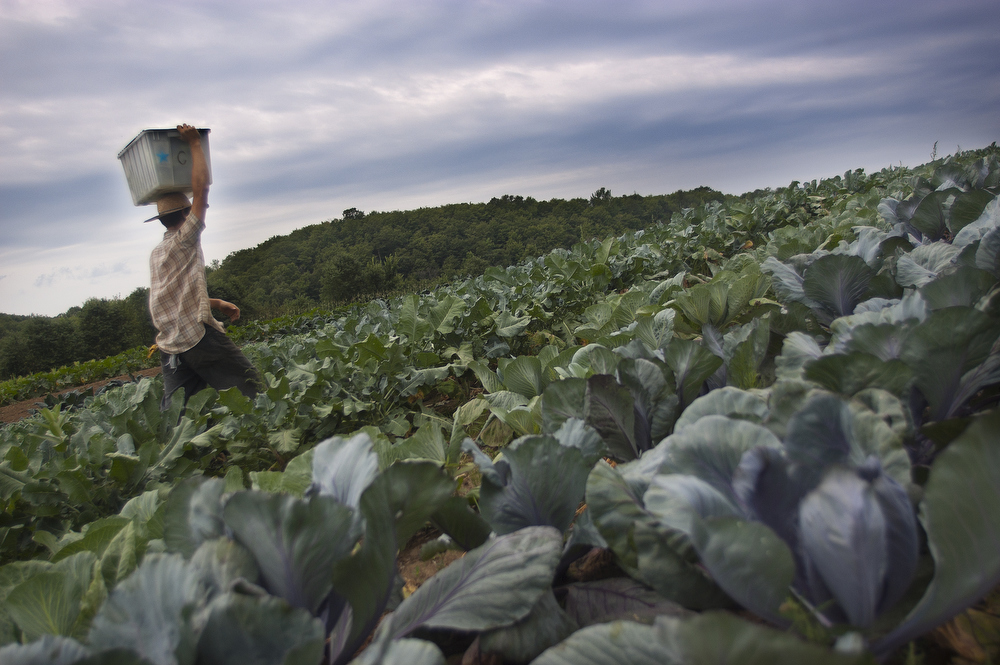 VDAFARM095 A worker on Vallon des Sources farm in Ripon Quebec carries freshly picked produce from the field to the farmhouse . © Vincenzo D'Alto farm, ferme, fattoria, finca agriculture, agricultura, organic, biologique, organico, biologico, Land, tierra, terra, terre tomato tomate