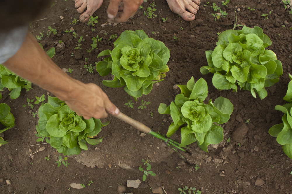 "VDAFARM116 Workers on Cadet -Roussel farm weed the lettuce patch. Contrary to conventional farming, weed control is more labor intensive requiring more ""hands on"" work from workers. © Vincenzo D'Alto farm, ferme, fattoria, finca agriculture, agricultura, organic, biologique, organico, biologico, Land, tierra, terra, terre"