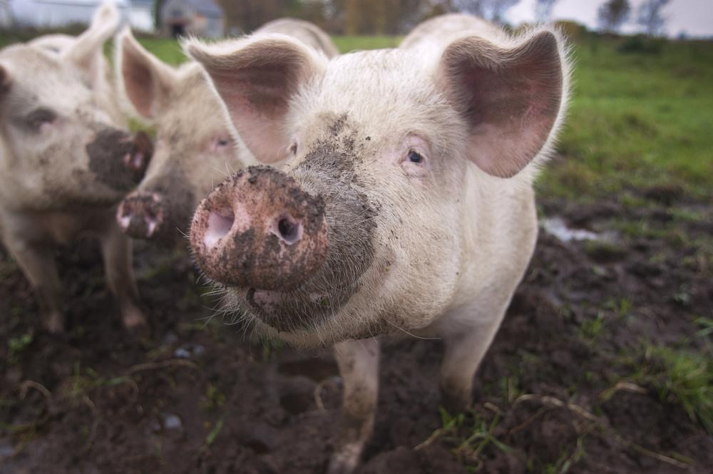 VDAFARM137 A pig on the organic farm Cadet Roussel. © Vincenzo D'Alto farm, ferme, fattoria, finca agriculture, agricultura, organic, biologique, organico, biologico, Land, tierra, terra, terre