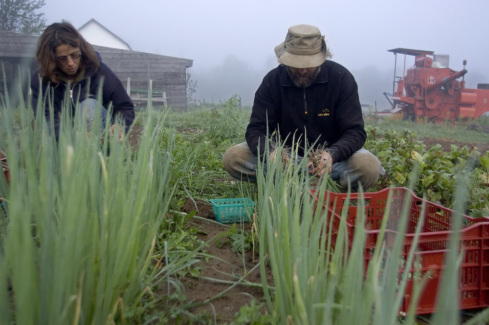 VDAFARM 062 Ripon-July 27/05- Michel Massuard and wife Monique are up at 5 a.m collecting green onions for weekly partners' baskets on their organic Farm in Ripon Quebec. farm, ferme, fattoria, finca agriculture, agricultura, organic, biologique, organico, biologico, Land, tierra, terra, terre Photo by Vincenzo D'Alto