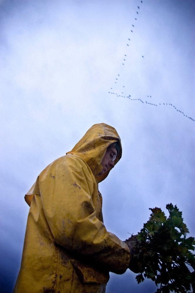 VDAFARM130 Despite the rainy and muddy conditions, Richard, a worker on the organic farm Cadet Roussel harvests celery-rave in late october as Canada Geese fly south. The hardy root can be harvested as late as november, perfect for Quebec's climate. © Vincenzo D'Alto/ farm, ferme, fattoria, finca agriculture, agricultura, organic, biologique, organico, biologico, Land, tierra, terra, terre